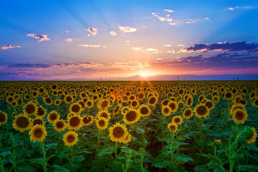 Sunflower-Sunset blog