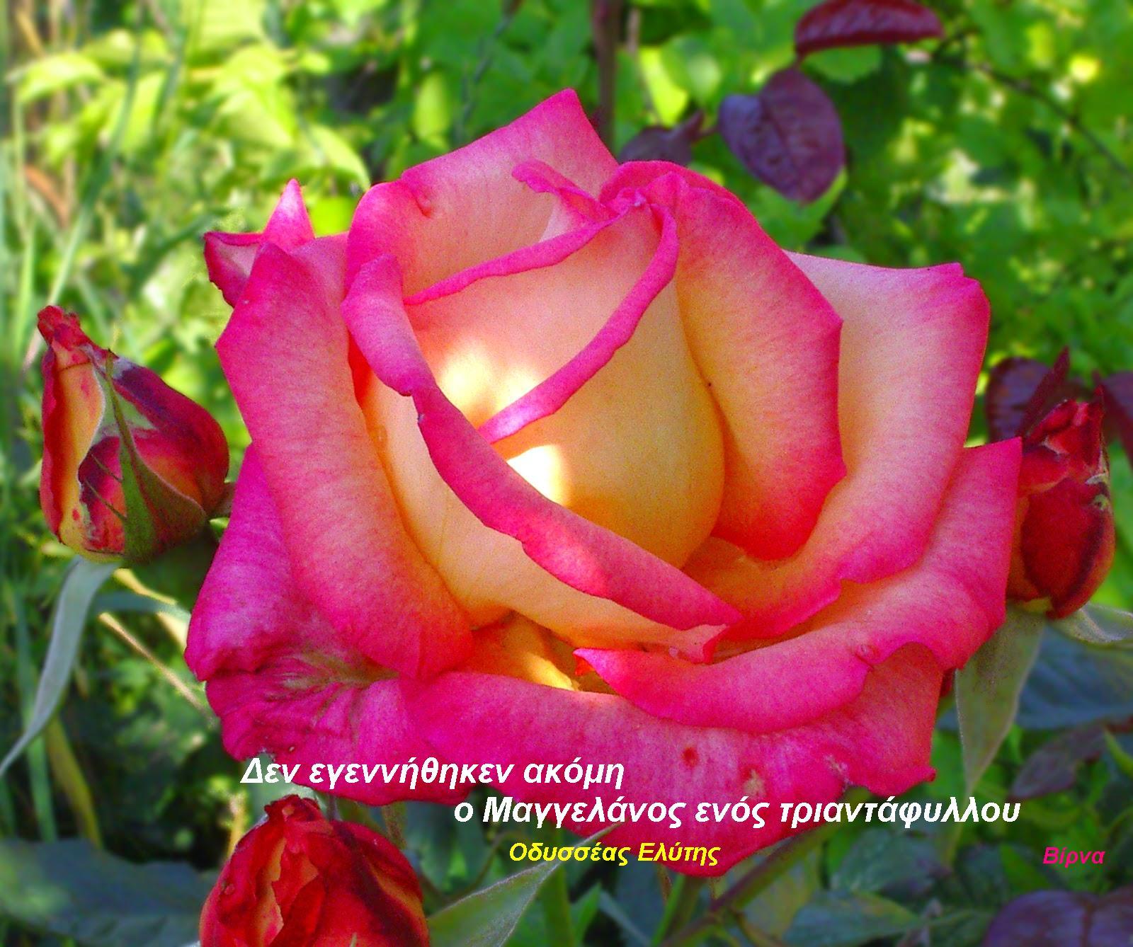 Αντίγραφο από Beautiful-Flower-Rose-Photos-16