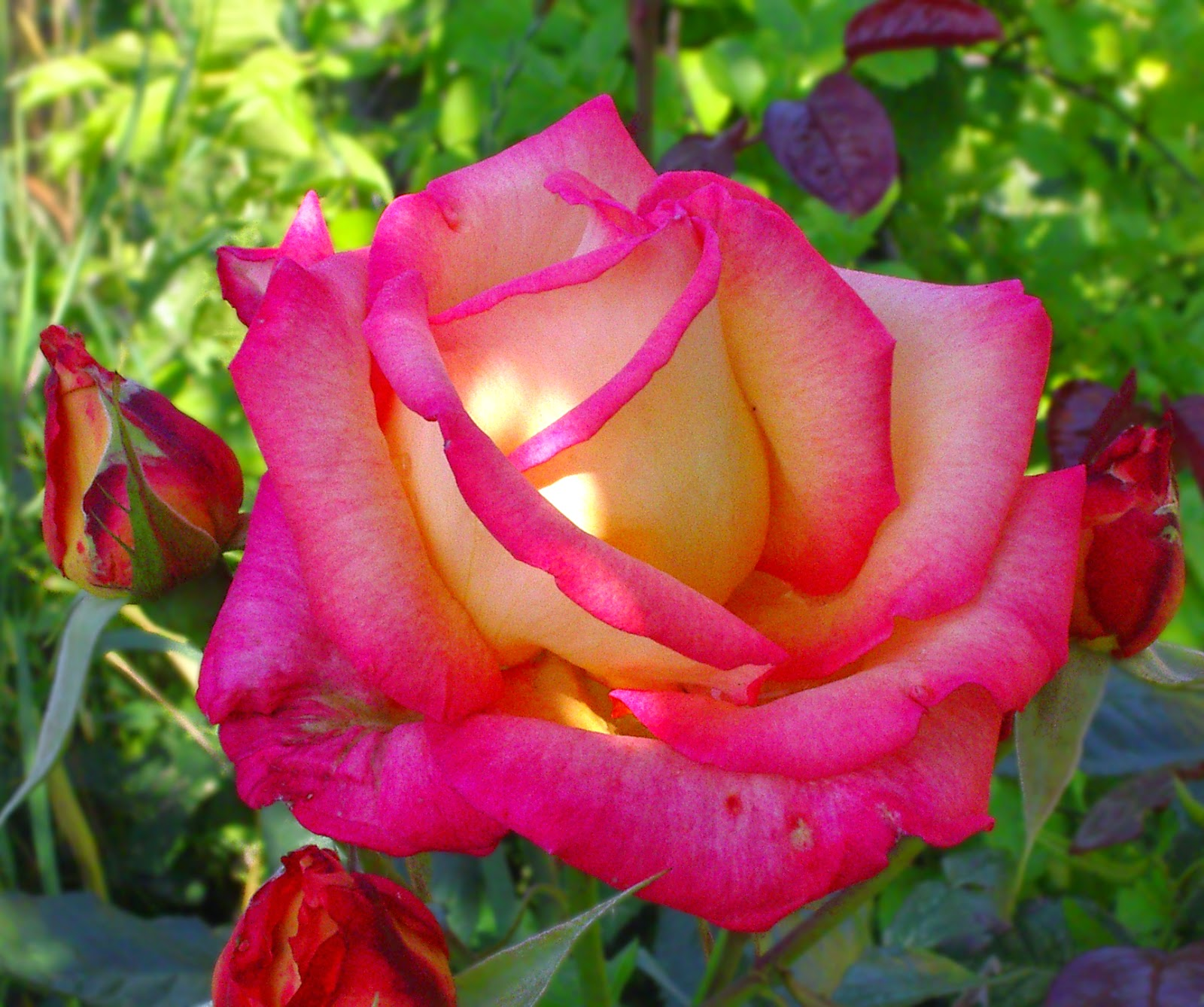 Beautiful-Flower-Rose-Photos-16