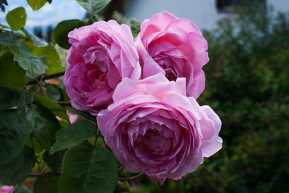 rose-1904488 960 720