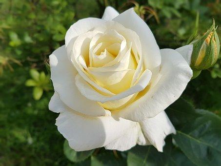 rose-2442335 340